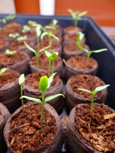 Growing Peppers from seeds.