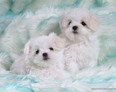 [72Pics] Cuddly White Maltese Puppies (Vol.1) - 1600*1200 Fluffy Maltese Puppy on Fluffy Blankets 14