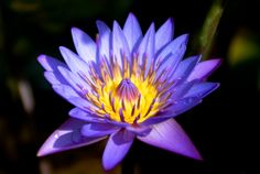 Blue Lotus | Nelson Lim Photography