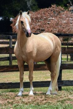 A Paso Fino painted palomino Baby Horses, Cute Horses, Draft Horses, Horse Love, Wild Horses, Palomino, All The Pretty Horses, Beautiful Horses, Animals Beautiful
