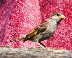 Spatz #sperling #vogel #spatz #haussperling #natur #bird