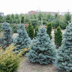 Brad argintiu fat albert picea pungens fat albert for Arbusti ornamentali