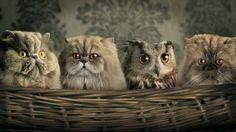 gatto persiano e gufo