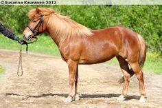 Gotland Pony - mare Ilectra