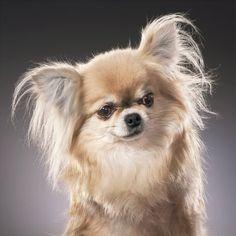 Welcome to the Home of Bramerita Chihuahuas - Breeders of Champion chihuahua's UK   Naughty But Nice