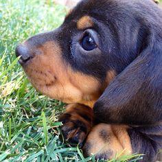 dachshund puppy nose...it will grow!