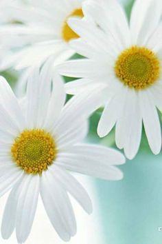 Campo de Zínias: Flores - VII (Flowers - VII)