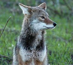 Hit list: coyotes are becoming a big issue around here. They are even getting into some suburban areas.