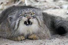 manul or pallas cat exercising facial yoga (or in mid-chew. or something is stuck between his wiskers.)