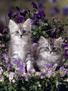 Two Fluffy Silver Tabby Kittens Amongst Winter-Flowering Pansies