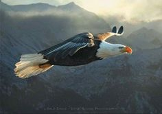 Bald Eagle, photo by Steve Bloom