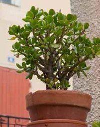Crassula argentea - Jade Plant