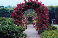 Climbing roses cover a wall, trellis or arbor. Backyard Pergola, Outdoor Landscaping, Outdoor Gardens, Pergola Roof, Garden Arbor, Garden Trellis, Wisteria Arbor, Rose Arbor, Arch Trellis