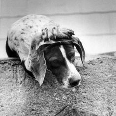It appears that Putty the pointer has a headache, but in reality, he has been well trained to hold this pose for treats by Psychologist Keller Breland in Hot Springs, Ark. - 1955. (Joseph Scherschel—The LIFE Picture Collection/Getty Images) #wildLIFEwednesday