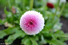 Flower, via Flickr. My photography. Photography Photos, Dandelion, Flowers, Plants, Dandelions, Plant, Taraxacum Officinale, Royal Icing Flowers, Flower