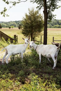 Photo Credit: Squire Fox. Maple and Venus, two Saanen dairy goats.