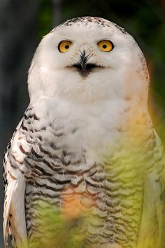 ........say.. what?... what?... come again? #owls #saywhatowls #birds #saywhat