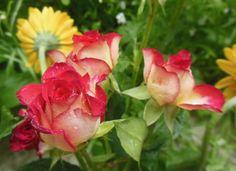 Szép rózsa ...