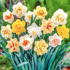 Our best selling Double Daffodil Bulbs in one perfect mix! Plant the mixed colors collection double daffodil bulbs in fall for mid-spring bloom. Daffodil Bulbs, Bulb Flowers, Daffodils, Garden Bulbs, Home Garden Plants, Deer Resistant Flowers, Narcissus Flower, Bulbs For Sale, Hardy Perennials