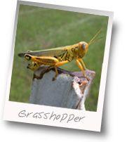 Grasshopper Control Expert Advice Gardens Plants And