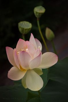 Symbolic Meaning of Lotus Flower | The Lotus flower meaning is shared across several cultures.