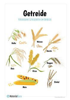 Auf diesem kostenlosen Arbeitsblatt finden die Schüler eine Übersicht mit verschiedenen Getreidesorten (Hafer, Weizen, Gerste, Reis, Roggen, Hirse, Dinkel und Mais). Jetzt das Unterrichtsmaterial gratis beim MaterialGuru downloaden!