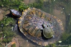 wonderful shot of an adult red eared slider, trachemys scripta elegans, with a juvenile planning to bask on its back