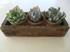 Succulent Centerpiece Great For Rustic by SucculentsGalore on Etsy, $24.95