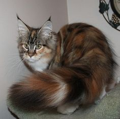 Kelimcoons Maine Coon Cats, Breeder of Maine Coon Cats & Kittens In New Hampshire and like OMG! get some yourself some pawtastic adorable cat shirts, cat socks, and other cat apparel by tapping the pin! Pretty Cats, Beautiful Cats, Animals Beautiful, Cute Animals, Baby Animals, Funny Animals, Turkish Angora Cat, Angora Cats, Cool Cats