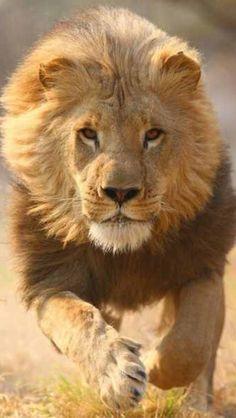 El #León entre los grandes #Felinos en #VíaDeExtinción en el #PlanetaTierra
