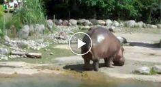 Visitantes Ficam Entusiasmados Ao Verem Hipopótamo Sair Da Água, Mas Depressa Mudam De Ideia