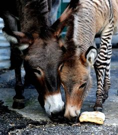 Ippo, a 3-month-old zonkey, a cross between a zebra and a donkey, stands in its pen in a reserve in Florence, Italy, on October 11, 2013. (Photo by Tiziana Fabi/AFP Photo)