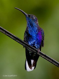 Violet Sabrewing (male) Hummingbird Tattoo, Humming Birds, Exotic Birds, Bird Species, Amazing Nature, Beautiful Birds, Bird Feeders, Joy, Jewels