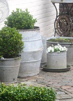 Galvanized planters with boxwoods.