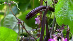 Lila bönor med gredelina bönblommor Opi, Stuffed Peppers, Vegetables, Garden, Lilac, Nature, Garten, Stuffed Pepper, Lawn And Garden