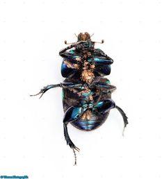 11604-Dor-Beetle-underside-with-mites-white-background.jpg (848×928)