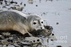 Harbor Seal Pup on the Shore by DejaVu Designs