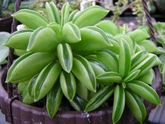 Peperomia dolabriformis - Prayer Pepper