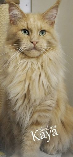 Silky coat and aquamarine eyes, Shedoros Maine Coon Cattery