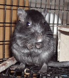 I really want two rats but i've got gerbils?