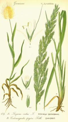 Poaceae,  Calamagrostis epigeios - siska nádtippan