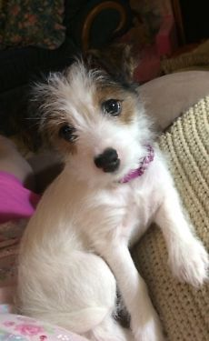 Currently available is short leg, female, Jack Russell. She was born on August 15, 2014 and she is current on all shots and worming. Both of her parents are rough coated and are brown and white. Her m