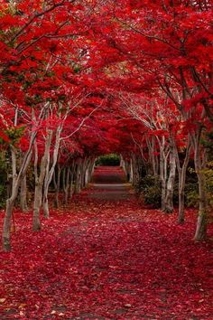Crimson Forest, Hokkaido, Japan I'm in love. Tree canopy trails are the most beautiful things in the world ❤️❤️❤️ Beautiful World, Beautiful Places, Beautiful Pictures, Amazing Places, Simply Beautiful, Nature Pictures, Wonderful Places, Tree Tunnel, All Nature