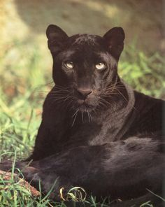 black panther spirit animal - Google Search