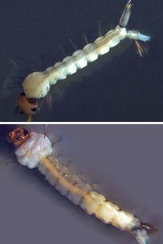 Larvas de A. aegypti e Culex
