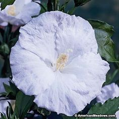 This Hibiscus' giant, pure white blooms will amaze in the sunlight and illuminate the garden after dark. Blue River's stunning, blue-green foliage provides a lovely contrast with the snow white blooms. (Hibiscus moscheutos)