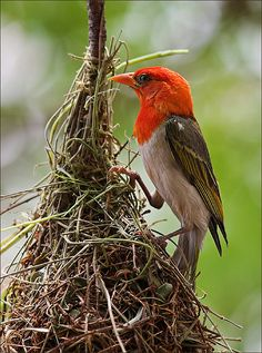 Mr. Weaver ...red-headed weaver..These are seed-eating birds with rounded conical bills, most of which are from Sub-Saharan Africa, with fewer species in tropical Asia. Weaver birds, also known as weaver finches, get their name because of their elaborately woven nests (the most elaborate of any birds'), though some are notable for their selective parasitic nesting habits.