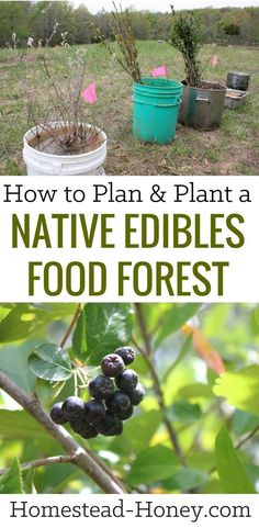 Diversify your homestead harvest with a native edibles food forest. Here I share how we economically planted 100+ edible & medicinal trees on our land. | Homestead Honey #fruittrees #permaculture #orchard #foodforest