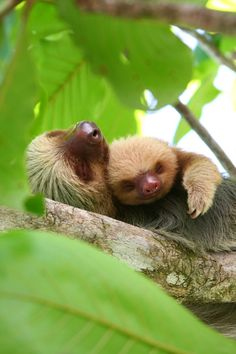Sloth family spends quiet time together.