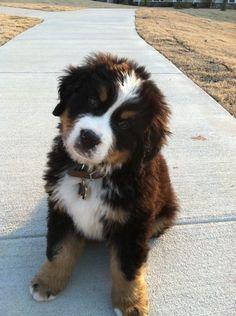 Hemingway - the Bernese Mountain Dog